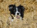 BORDER-COLLIE_R2815