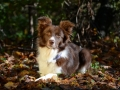 BORDER-COLLIE_T8926